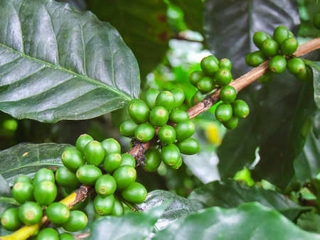 coffee tree: green coffee bean, coffee tree with beans Stock Photo