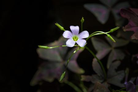 oxalis: Flower Oxalis triangularis (Purple shamrock )