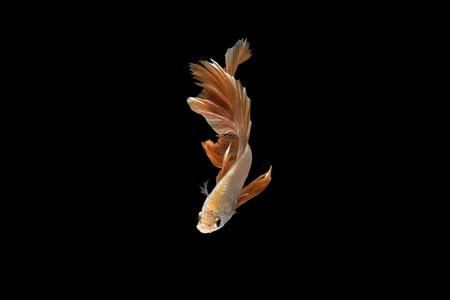 fish isolated: Betta Splendens