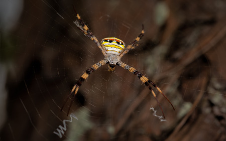 orb weaver: Giant Golden Orb Weaver Spider in northern Thailand.