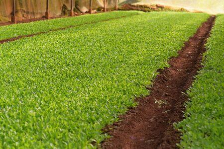 Fresh green rocket salad field.