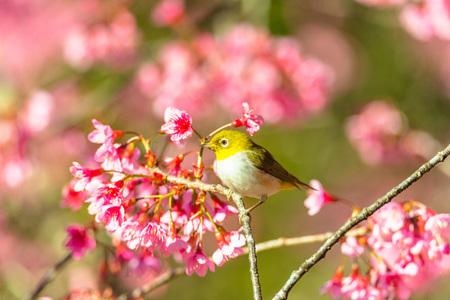 Mejiro (zosterops japonicus) on japanese cherry (prunus serrulata) branch