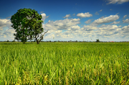 transplanting: Selangor, Malaysia  January 10, 2015 - The wide view of Paddy Field Padi Field in Sekinchan  Sekinchan Paddy Field show different feeling in different time. In the month of March and September are the rice transplanting period, the view of the paddy field Stock Photo