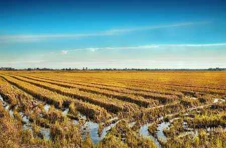padi:  The wide view of Paddy Field Padi Field in Sekinchan