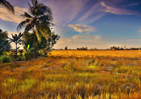 padi:  The wide view of Paddy Field Padi Field in Sekinchan Stock Photo