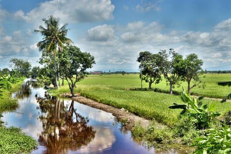 malay village: The wide view of Paddy Field Padi Field in Sekinchan Stock Photo