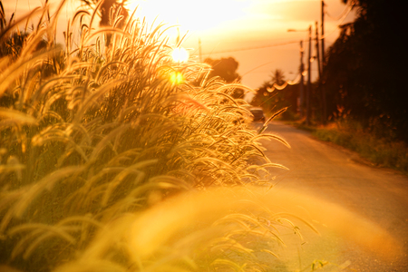 paddy field: Road side of paddy field in evening.