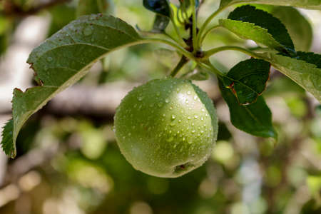 vitamines: Small green apple on the tree after rain