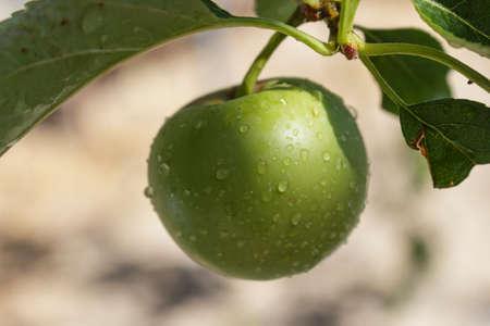 manzana verde: Detalle de la fruta en el �rbol de manzana despu�s de la lluvia