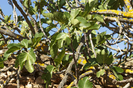fig tree: Branches of fig tree Stock Photo