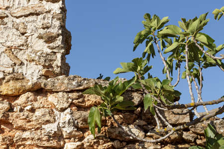 Detail branches of a fig tree that grows next to the ruins of an old farmhouse