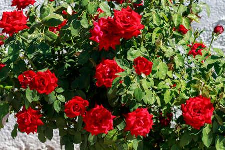 rose-bush: Rosebush with red roses
