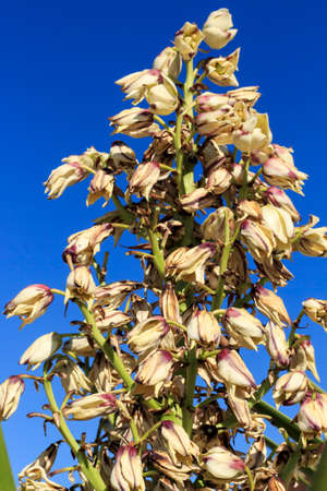 yucca: Detail view of yucca blossoms on blue sky