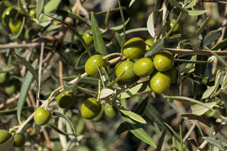 drupe: Detail of fruits in an olive tree