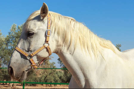 olive groves: Side view of a white horse with olive groves at background