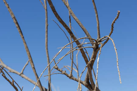 rainless: Close-up of dried branches of broom on blue sky
