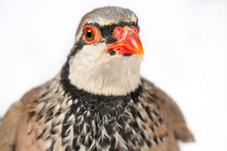 gamebird: Close-up of red-legged partridge, on white background. Wildlife studio portrait.