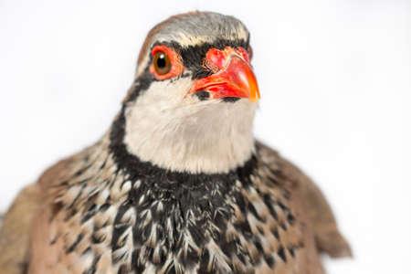 kuropatwa: Zbliżenie góropatwa czerwona, na białym tle. Wildlife studio portret. Zdjęcie Seryjne