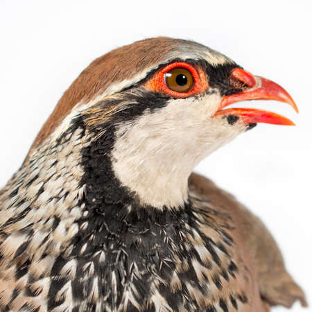 gamebird: Red-legged partridge, on white background. Wildlife studio portrait.