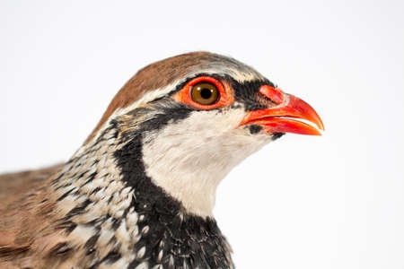 kuropatwa: Widok z boku góropatwa czerwona, na białym tle. Wildlife studio portret.