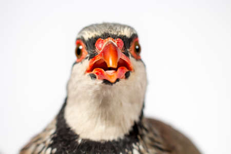 beak: Detail of the red beak of a red-legged partridge, on white background. Wildlife studio portrait.