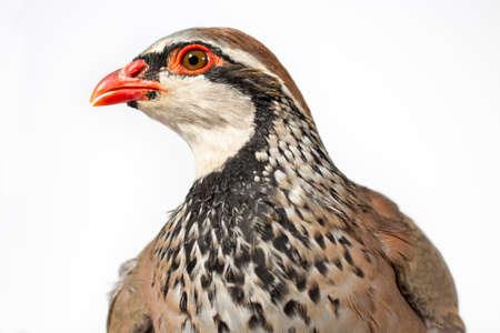 kuropatwa: Portret góropatwa czerwona, na białym tle. Wildlife studio portret.