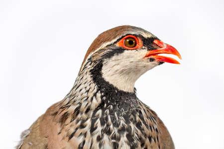 kuropatwa: Góropatwa czerwona na białym tle. Wildlife studio portret. Zdjęcie Seryjne