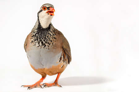 kuropatwa: Wildlife studio portrait: Red-legged partridge on white background, with blank space at right.