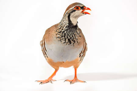 kuropatwa: Wildlife studio portrait: Red-legged partridge on white background, looking at right. Zdjęcie Seryjne