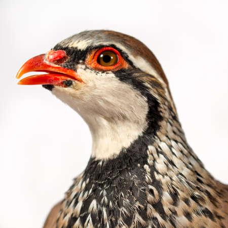 kuropatwa: Wildlife portret studio: Zbliżenie góropatwa czerwona, na białym tle. Zdjęcie Seryjne