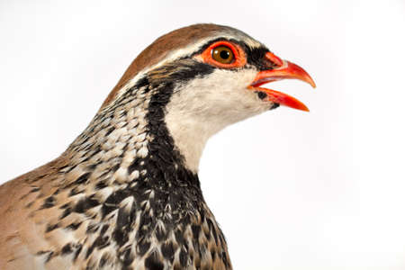 gamebird: Wildlife studio portrait: Side view of red-legged partridge, on white background, looking at right.