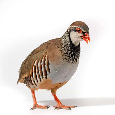 Wildbird studio portrait: Red-legged partridge on white background.