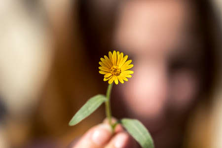 on yellow daisy: Detail of yellow daisy into the fingers of a young woman