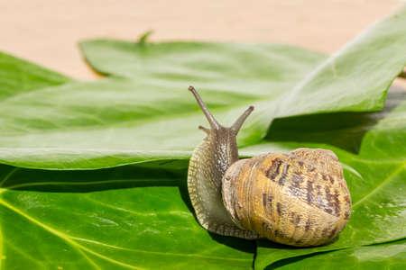 looking behind: Garden snail looking behind green ivy leaves