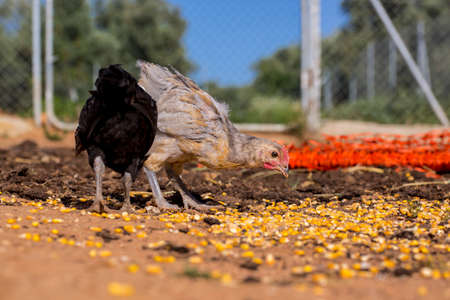 fodder corn: Black and gray chickens are eating corn grains