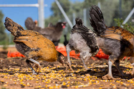 poultry farm: Hens and chickens eating corn grains. Organic poultry farm