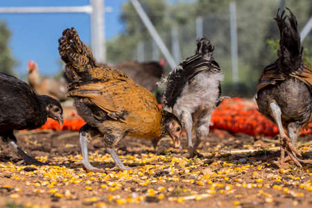 poultry farm: Chickens and hens eating corn grains. Organic poultry farm
