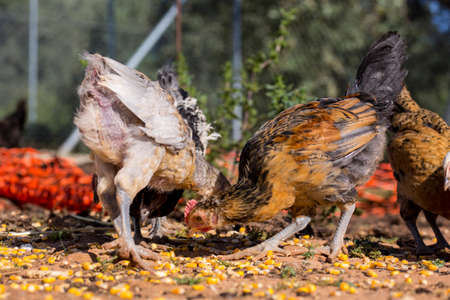 poultry farm: Different chickens eating corn grains in an organic poultry farm
