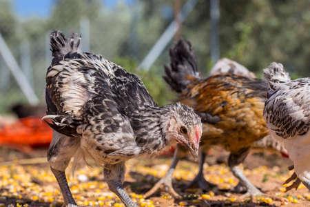 granja avicola: Varios polluelos de gallina al aire libre en una granja avícola orgánica Foto de archivo
