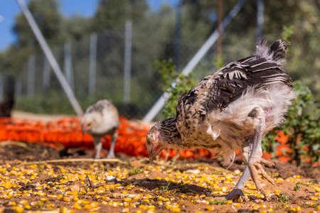 granja avicola: las gallinas al aire libre en una granja avícola orgánica