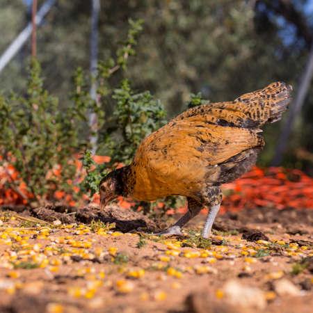 granja avicola: pollito negro y marrón está comiendo granos de maíz. granja avícola orgánica