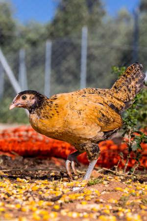 poultry farm: y marrón negro al aire libre de pollo en granja avícola orgánica Foto de archivo