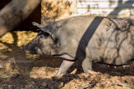 pigpen: Black Iberian sow at her pigpen. Breeding pigs in organic livestock