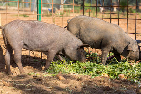 Black Iberian pigs eating radishes and potatoes. Organic livestock Stock Photo