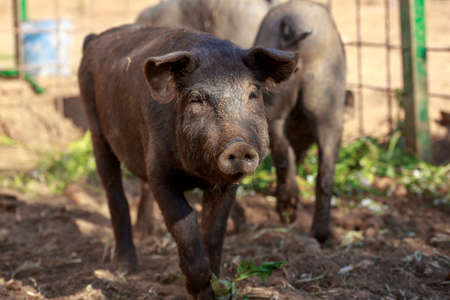 Young Black Iberian pig walking to camera. Organic livestock