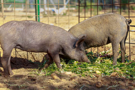 Young Black Iberian pigs eating radishes and potatoes. Organic livestock