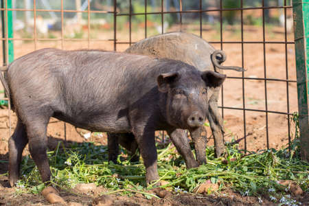 Young Black Iberian pig looking to camera. Organic livestock