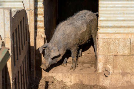 pigpen: A muddy young Black Iberian pig looks to the yard next to the pigsty. Organic livestock