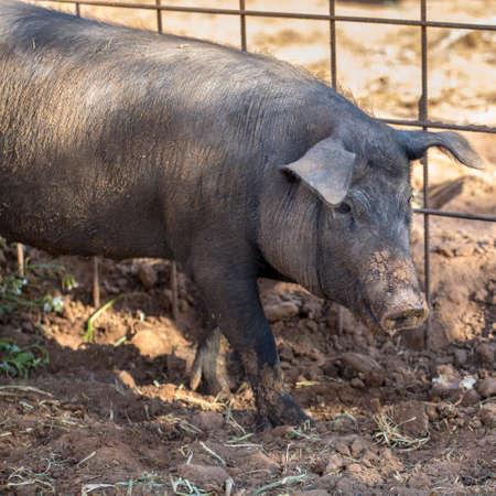pigpen: Young muddy Black Iberian pig beside metal fence. Organic livestock