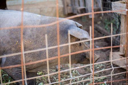 pigpen: Black Iberian pig-stallion behind a metal fence. Organic livestock Stock Photo